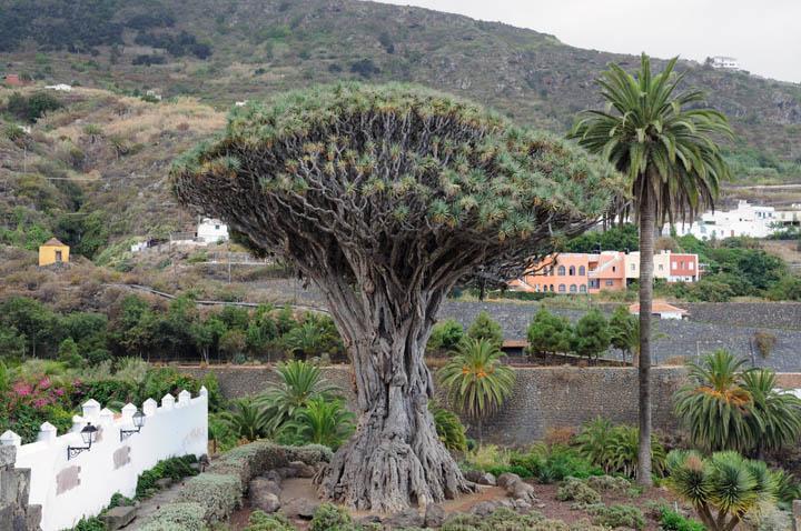 spain_tenerife_dragon_tree_at_icod_de_los_vinos_canary_islands_thinkstockphotos-101189680
