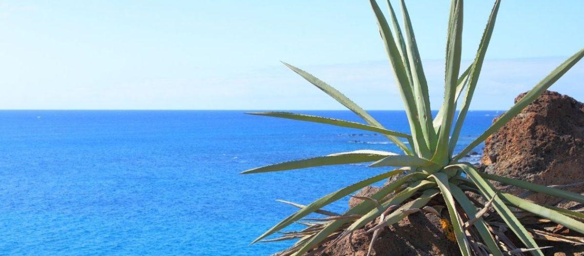 Tenerife aloe vera 3